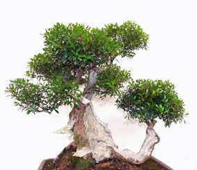 Myrte Bonsai Shop